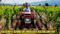 Sarıgöl'ün Sultaniye Üzümleri İhracata Hazırlanıyor